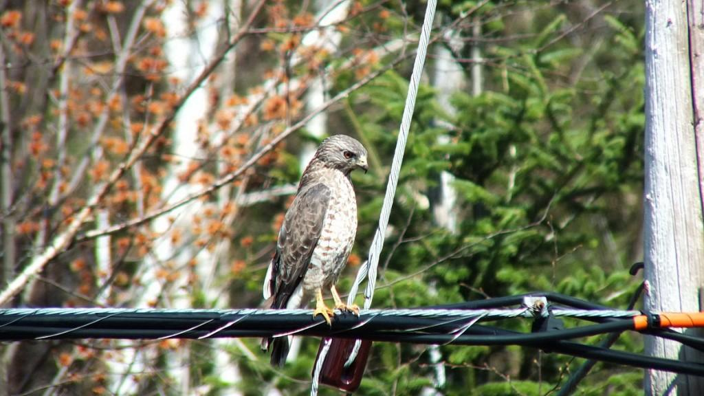 Broad-winged Hawk - sitting on a powerline near Dorset - Ontario