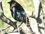 Brown-Headed Cowbird Sighted Thickson's Woods Whitby