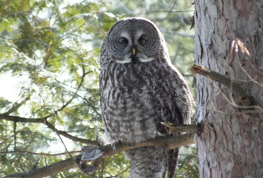grey owl essays Strong essays: the owl essay - a scream passing through an open window at the edge of town rattles the settled its plumage is grey-brown with white spots on.