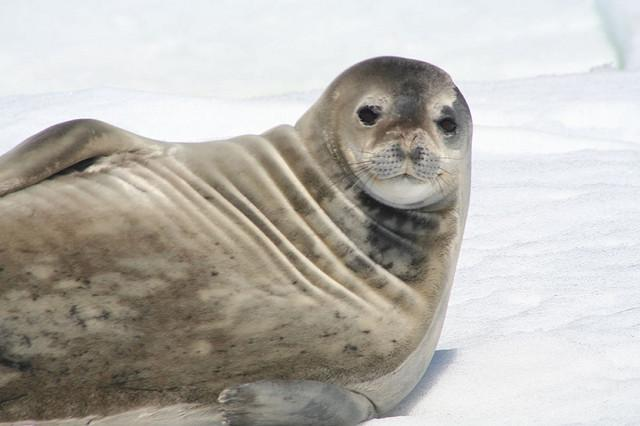 Weddell seals found to be born with abnormally large brains