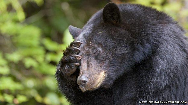 Essay/Term paper: Black bears