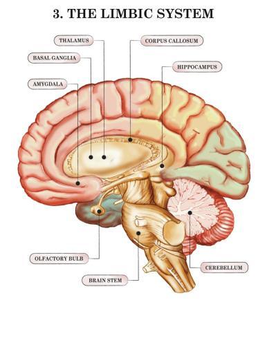 PTSD: Blame Your Hippocampus/Amygdala Complex - Paperblog
