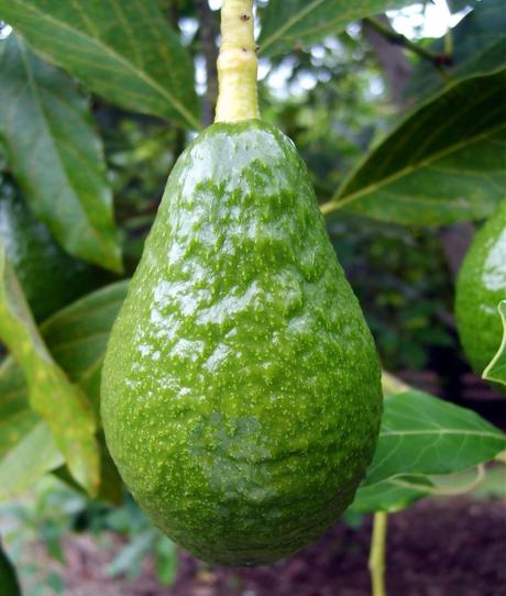 Avocado Pictures, Images and Photos