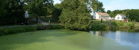 An algae bloom in North Carolina, a region of the country equipped for broad-scale algae growth. (Photo courtesy of Ildar Sagdejev http://commons.wikimedia.org/wiki/File:2008-08-22_Algae_lagoon_in_Swepsonville_pond.jpg).