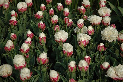ice cream tulips paperblog. Black Bedroom Furniture Sets. Home Design Ideas