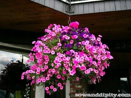 Pink and Purple Hanging basket