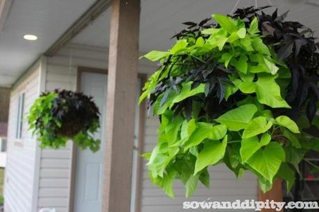 Ipomea hanging baskets