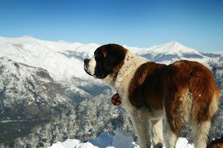 Breed Profile: Saint Bernard