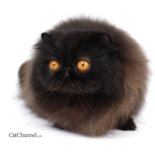 Black Cat Breeds - Paperblog