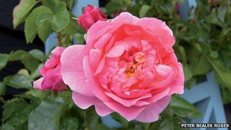 Peter Beales roses win gold at the Chelsea Flower Show