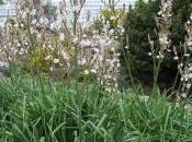 Plant Week: Asphodelus Albus