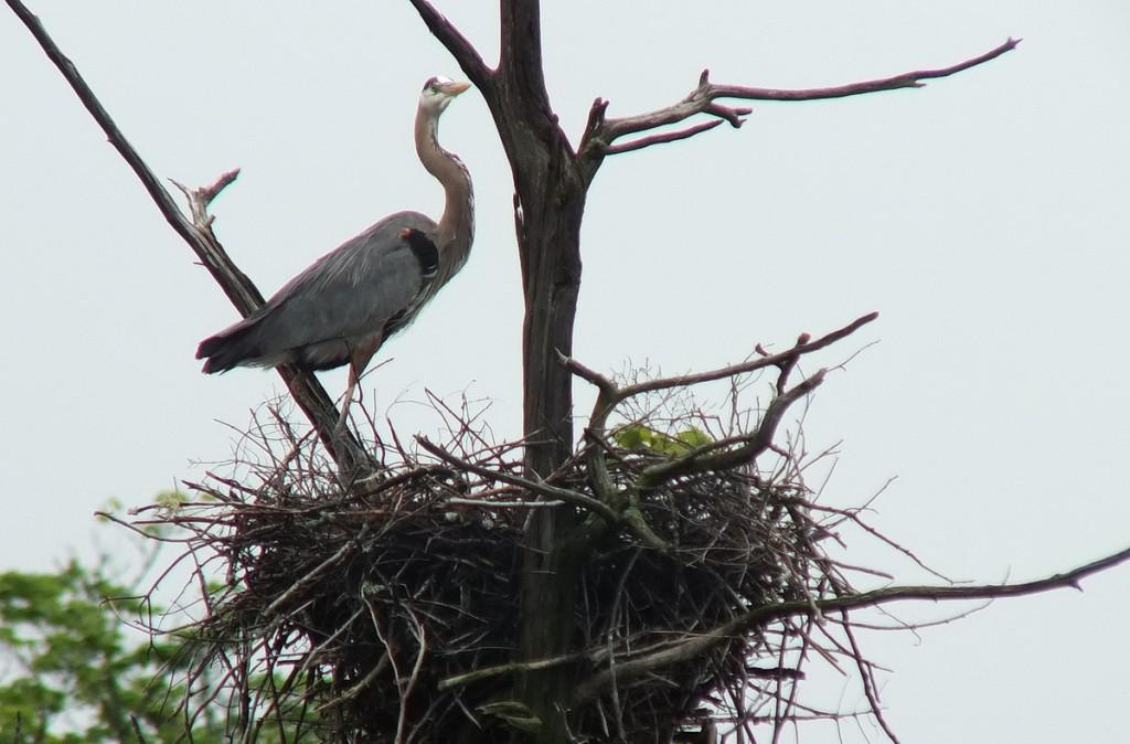 great blue heron - standing on nest gives me a look  - oxtongue lake - ontario