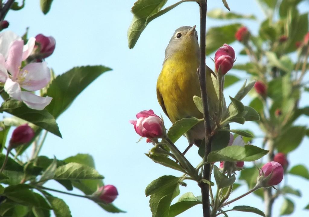 nashville warbler - stands among pink apple blossom with tongue  - toronto - ontario