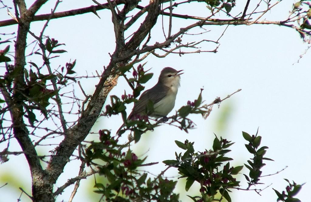 warbling vireo songbird sitting among pink flowers on tree
