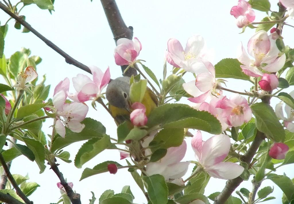 nashville warbler - picks at pink apple blossom with tongue  - toronto - ontario