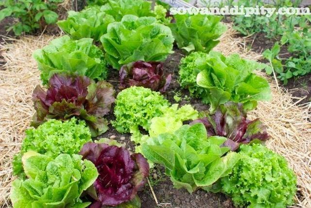 patchwork lettuce_new