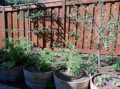 wine barrel vegetable garden yes spaces espallier trees The Easiest Family Vegetable Garden