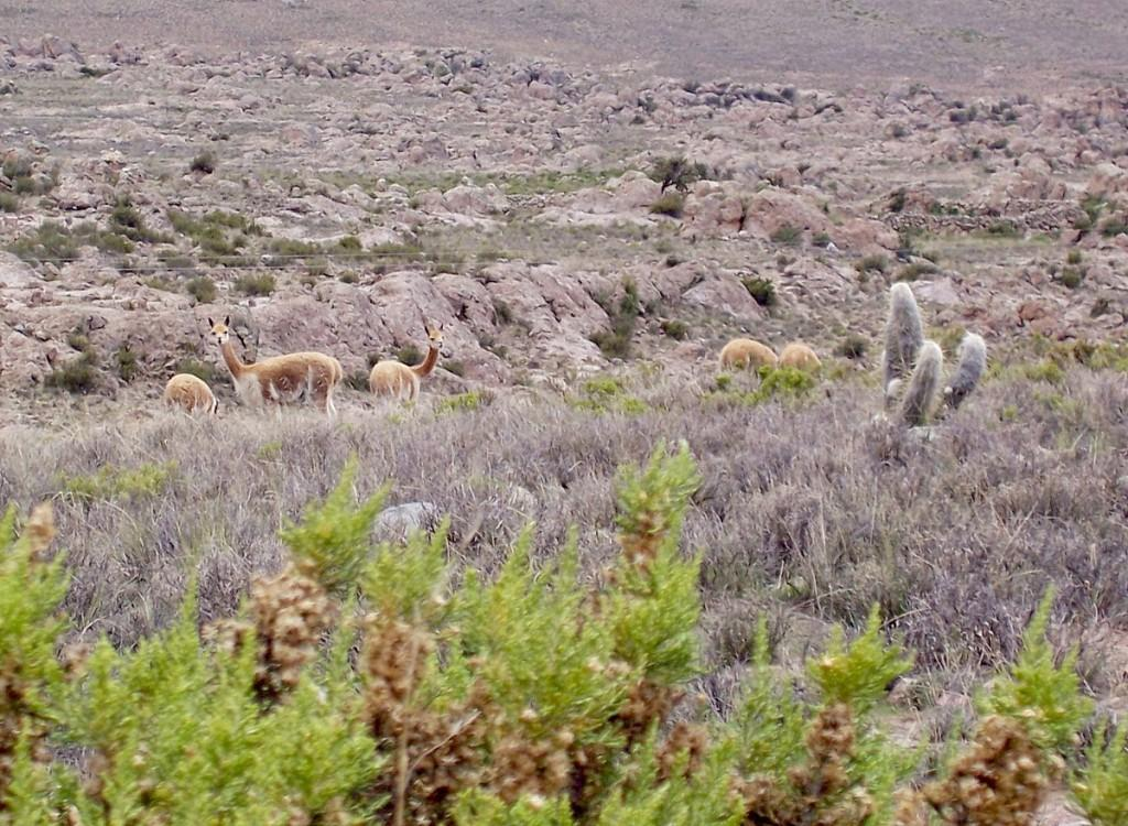 Wild Vicuna in the Andes Mountains