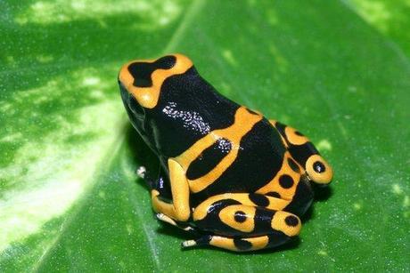 Bumblebee Dart Poison Frog