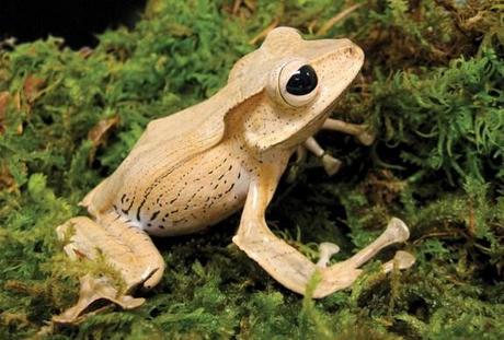 Borneo Eared Frog