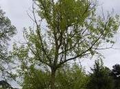 Plant Week: Populus Yunnanensis
