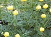Plant Week: Trollius Pumilus