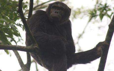 chimp in Nyungwe Forest Rwanda
