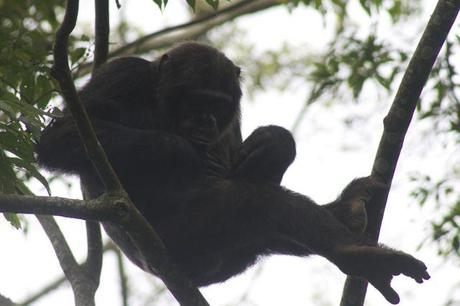 chimp inspecting his belly button