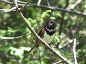 Eastern Towhee Sings Heart Forks Credit Provincial Park Caledon