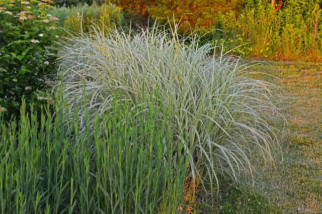 Taking notice of the ornamental grasses paperblog for Ornamental sea grass