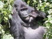 Featured Animal: Gorilla