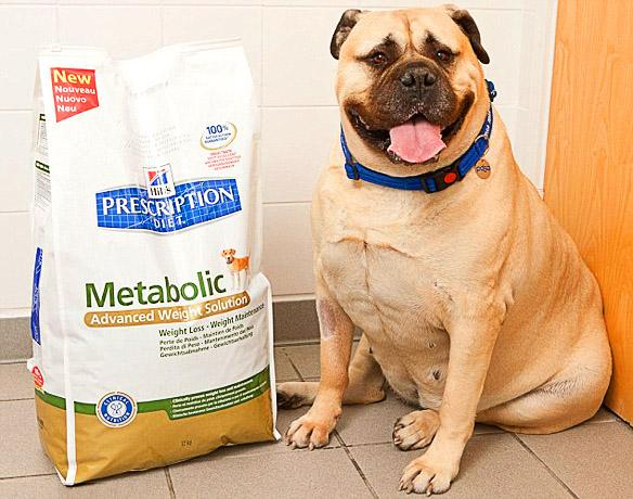 SuperSized DOG Becomes UK's Fattest K-9!