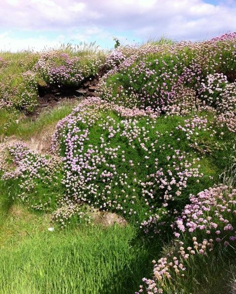 drifts of sea thrift growing wild