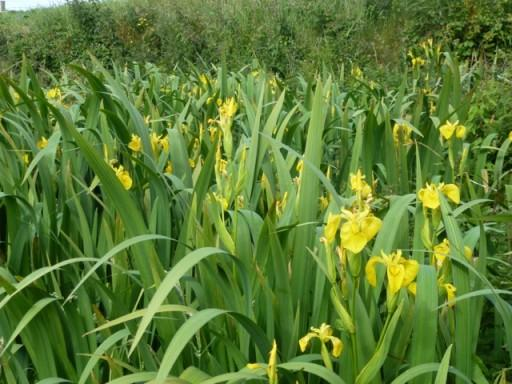 Yellow flag Iris in flower