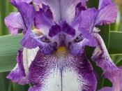 Purple White Bearded Irises