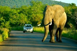 bigblueproject: Face To Face With An Elephant On A South African Road