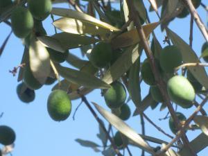 Olive Branch, photo Martha Katz