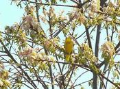 Yellow Warbler Sighted Second Marsh Oshawa