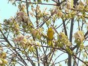 Yellow Warbler Sighted Second Marsh Oshawa