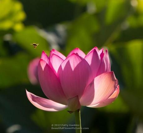 Lotus Blossom © 2012 Patty Hankins