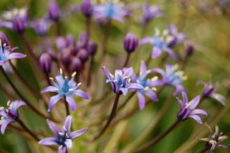 Scilla peruviana Flower (23/06/2013, Kew Gardens, London)