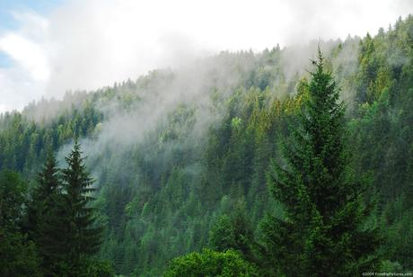 Third of Conifers Under Threat of Extinction, Study Says