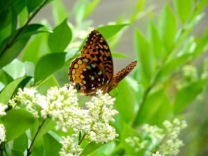 Butterflies are one of our most active pollinators -- and a barometer for ecological health/Samantha Page