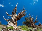 Know: World's Oldest Tree 5062-Years-Old