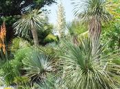 Other Blue Yucca