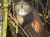 Golden Monkeys: Glimpse Africa's Rarest Primates