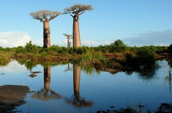 Photo: Baobab trees over water by Rita Willaert.