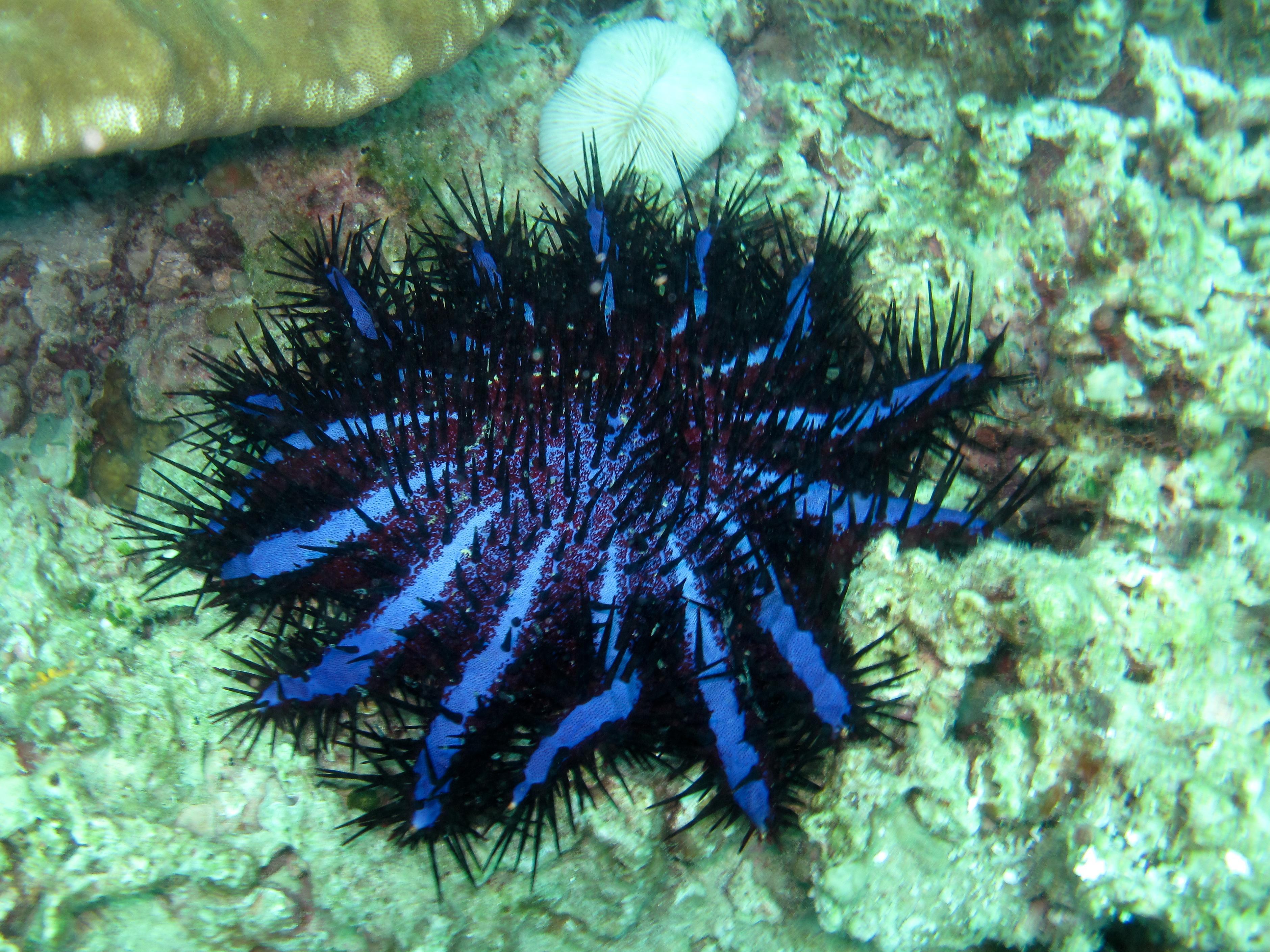 Coral Eating Starfish! - Paperblog