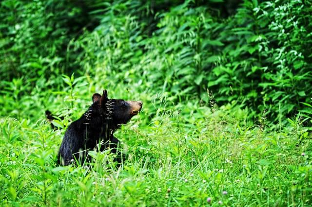 Female-Black-Bear-2