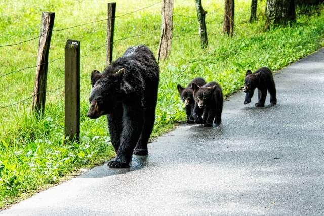 Black-Bear-with-Three-Cubs